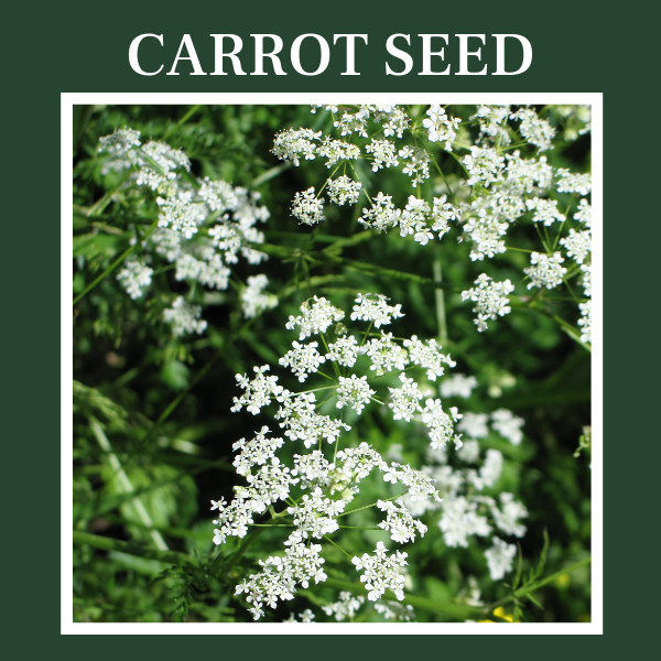 icture of carrot-seed plant, daucus carota. Carrot seed essential oil.