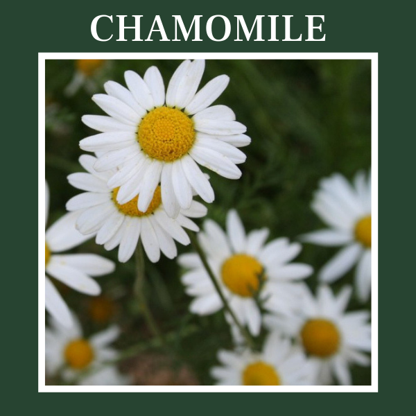 icture of chamomil, Roman or German. Chamomile essential oil.