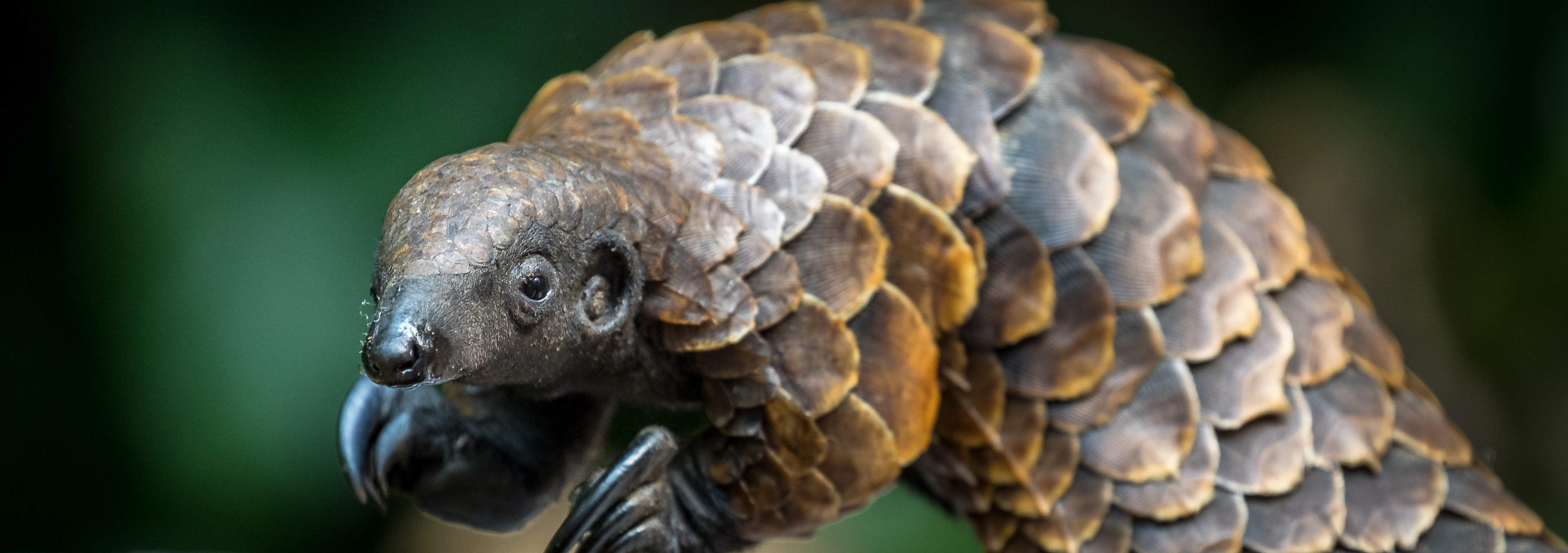 Black bellied pangolin - Isak Pretorias